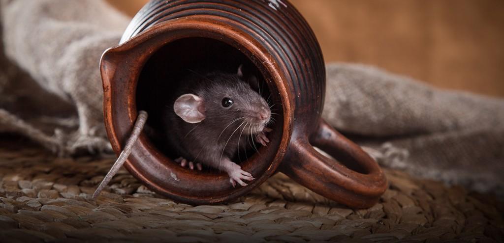 fumigar ratones en Rota